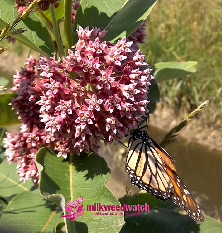 Milkweed Watch